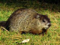 Groundhog animal