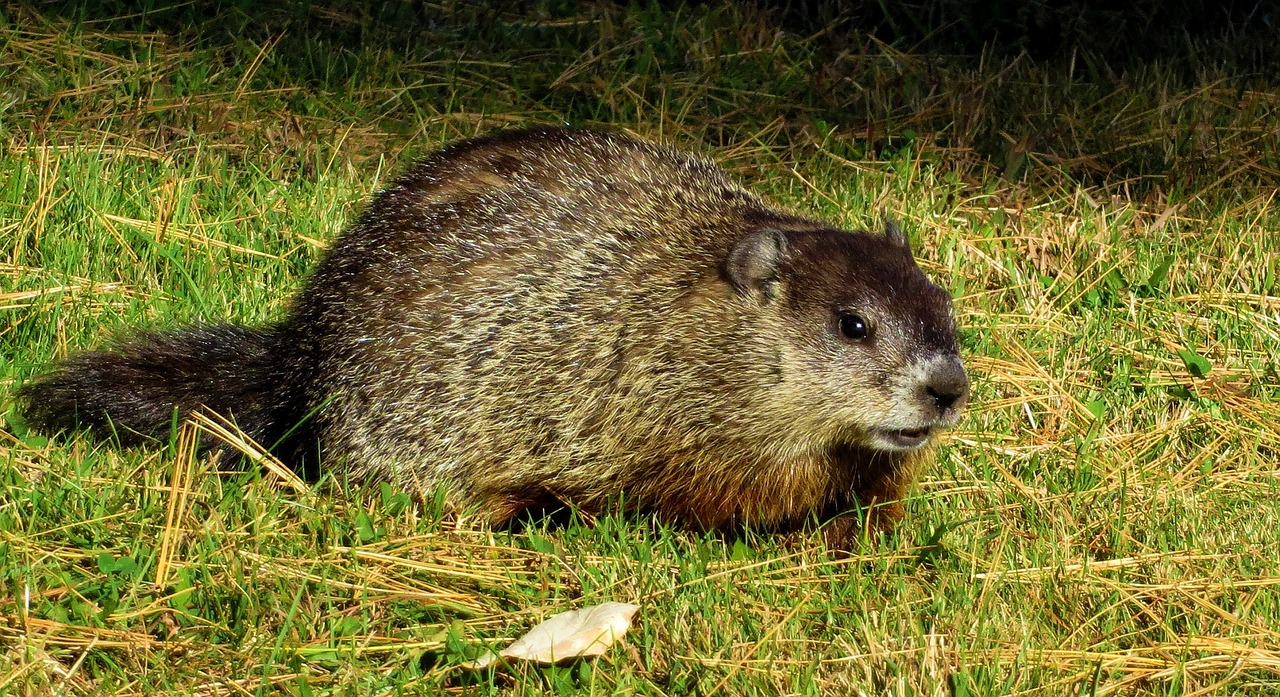 Groundhog animal