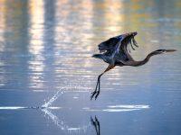 crane-bird