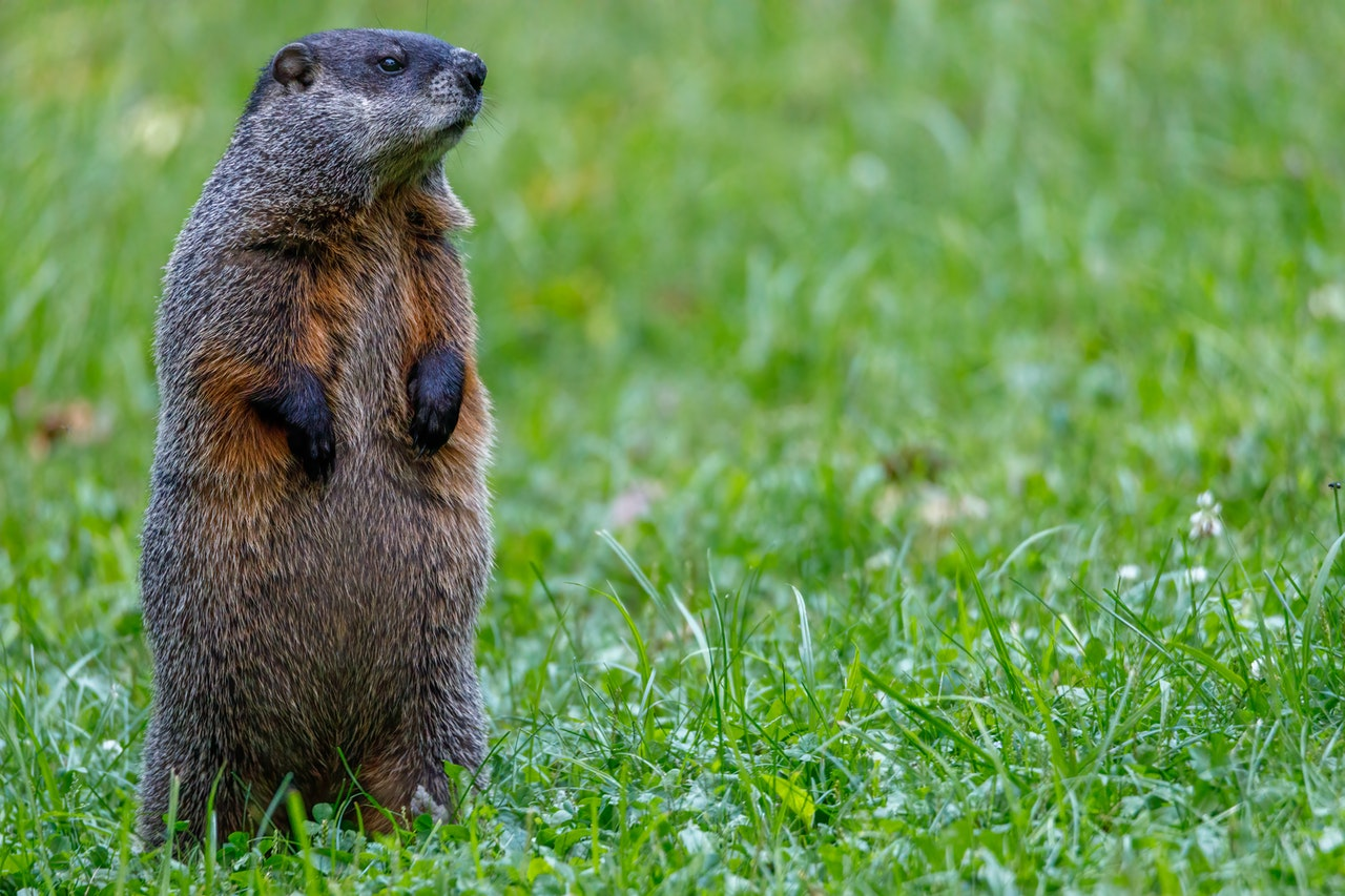 groundhog-picture