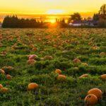 pumpkin-field